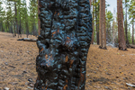 Charred tree from forest fire in Lassen Volcanic National Park, California, USA