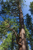 Incense-Cedar, Calocedrus decurrens, aka Libocedrus decurrens, trunk in Lassen National Forest, California, USA