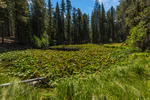 Lily Pond with Cow Lilies, Nuphar polysepalum, along the Lily Pond Nature Trail in the Manzantita Lake area of Lassen Volcanic National Park, California, USA