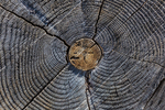 Cross-section revealing growth rings in an old conifer tree in the Manzanita Lake area of Lassen Volcanic National Park, California, USA
