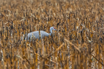 Sandhill Crane, Antigone canadensis, feeding in a cornfield in March at the Platte River Valley migration stopover near Kearney, Nebraska, USA