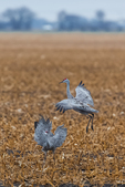 Sandhill Cranes, Antigone canadensis, dancing in a cornfield in March at the Platte River Valley migration stopover near Kearney, Nebraska, USA