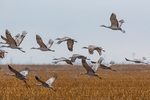 Sandhill Cranes, Antigone canadensis, in flight and coming in for a landing in a cornfield in March at the Platte River Valley migration stopover near Kearney, Nebraska, USA