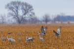 Sandhill Cranes, Antigone canadensis, feeding and dancing in a cornfield in March at the Platte River Valley migration stopover near Kearney, Nebraska, USA