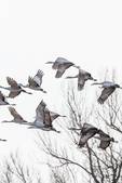 Sandhill Cranes, Antigone canadensis, flying to and from feeding and roosting places in March at the Platte River Valley migration stopover near Kearney, Nebraska, USA