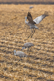 Sandhill Cranes, Antigone canadensis, feeding and engaging in a sexual display of tossing a stick and leaping, in a cornfield in March at the Platte River Valley migration stopover near Kearney, Nebraska, USA