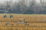 Sandhill Cranes, Antigone canadensis, feeding in a cornfield in March at the Platte River Valley migration stopover near Kearney, Nebraska, USA