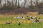 Sandhill Cranes, Antigone canadensis, feeding and behaviorally interacting, including vertical leaps, in a farm field in March at the Platte River Valley migration stopover near Kearney, Nebraska, USA