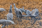 Sandhill Cranes, Antigone canadensis, exhibiting aggressive, agonistic behavior toward each other, including spread wings and ruffled feathers, in a corn field in March at the Platte River Valley migration stopover near Kearney, Nebraska, USA