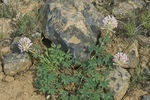 Bighead Clover (Trifolium macrocephalum) blooming in the sagebrush-steppe habitat along Umptanum Road between Naches and Ellensburg, Washington, USA, May, 2009_WA_1081