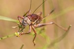 Coulee Cricket, Anabrus longipes, feeding on a plant in the mustard family in the shrub-steppe ecosystem of Hanford Reach National Monument, Columbia River Basin, Washington State, USA