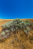 Rabbitbrush on old dunes in Hanford Reach National Monument, Columbia River Basin, Washington State, USA