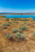 Rabbitbrush and grasses along the Columbia River in Hanford Reach National Monument, Columbia River Basin, Washington State, USA