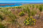 Wildflowers on the bluffs above the Columbia River on a windy day in Hanford Reach National Monument, Columbia River Basin, Washington State, USA