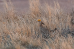 Male Lesser Prairie Chicken, Tympanuchus pallidicinctus, courtship display on a lek in spring on Bureau of Land Management lands is eastern New Mexico, USA