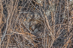 Loggerhead Shrike, Lanius ludovicianus, nest with eggs in a short shrub in the shortgrass steppe prairie on Bureau of Land Management lands in eastern New Mexico, USA