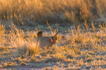 Male Lesser Prairie Chicken, Tympanuchus pallidicinctus, showing brightly-colored air sacs during courtship display on a lek in spring on Bureau of Land Management lands is eastern New Mexico, USA