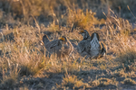 Male Lesser Prairie Chicken, Tympanuchus pallidicinctus, courtship display, including a faceoff between two competing males, on a lek in spring on Bureau of Land Management lands is eastern New Mexico, USA