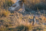 Male Lesser Prairie Chicken, Tympanuchus pallidicinctus, aggressive flutter jumping between competing males, during courtship display on a lek in spring on Bureau of Land Management lands is eastern New Mexico, USA