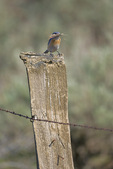 Western Bluebird (Sialia mexicana) adult female perched on a fencepost with nest materials in bill along the Vredenburgh Bluebird Trail along Umptanum Road between Wenas and Ellensburg, Washington, USA, May, 2009_WA_1117