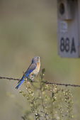 Western Bluebird (Sialia mexicana) adult female perched on a fence before entering a bluebird box along the Vredenburgh Bluebird Trail along Umptanum Road between Wenas and Ellensburg, Washington, USA, May, 2009_WA_1137