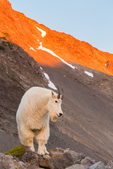 Mountain Goat, Oreamnos americanus, at sunset along the moraine high above Blue Glacier originating from Mount Olympus, along the Hoh River Trail in Olympic National Park, Washington State, USA