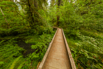 Boardwalk bridging a stream and wetland in the Hoh Rain Forest along the Hoh River Trail in Olympic National Park, Washington State, USA