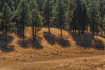 Ponderosa Pines, Pinus ponderosa, and grasslands in Valles Caldera National Preserve, a preserve run by the National Park Service, New Mexico, USA