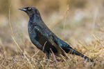 Male Brewer's Blackbird, Euphagus cyanocephalus, foraging at the edge of a road in October in Valles Caldera National Preserve, a preserve run by the National Park Service, New Mexico, USA