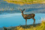 Mule Deer, Odocoileus hemionus, along the grassy shore of Paulina Lake in early morning light in Newberry National Volcanic Monument, central Oregon, USA