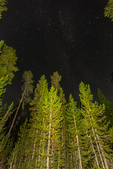 Lodgepole Pine, Pinus contorta, forest at night with stars shining above, in Newberry National Volcanic Monument, central Oregon, USA
