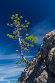 Brave Whitebark Pine, Pinus albicaulis, growing amidst the pumice and obsidian lava along the Big Obsidian Flow Trail in Newberry National Volcanic Monument, central Oregon, USA