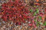 Autumn huckleberry, Vaccinium sp.,  leaves with a bit of fresh snow in Newberry National Volcanic Monument, central Oregon, USA