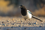 Black-billed Magpie, Pica hudsonia, foraging in the Wild Rivers Area of Rio Grande del Norte National Monument near Taos, New Mexico, USA