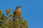 American Robin, Turdus migratorius, stopping during fall migration to feed on juniper berries in the Wild Rivers Area of Rio Grande del Norte National Monument near Taos, New Mexico, USA