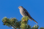 Townsend's Solitaire, Myadestes townsendi, on a Pinyon Pine in the Wild Rivers Area of Rio Grande del Norte National Monument near Taos, New Mexico, USA