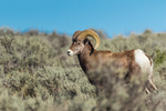 Desert Bighorn Sheep, Ovis canadensis nelsoni, ram walking through sagebrush in the Wild Rivers Area of Rio Grande del Norte National Monument near Taos, New Mexico, USA