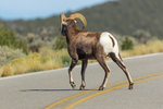 Desert Bighorn Sheep, Ovis canadensis nelsoni, ram crossing road in the Wild Rivers Area of Rio Grande del Norte National Monument near Taos, New Mexico, USA