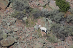Desert Bighorn Sheep, Ovis canadensis nelsoni, lamb feeding in the Wild Rivers Area of Rio Grande del Norte National Monument near Taos, New Mexico, USA