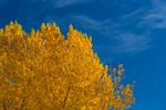 Cottonwoods in autumn color at Rio Bravo Campground in the Orilla Verde Recreation Area, in Rio Grande del Norte National Monument, near Pilar and Taos, New Mexico, USA