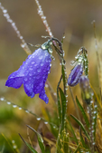 Bluebells-of-Scotland, Campanula rotundifolia, on a misty morning on Mount Townsend in the Buckhorn Wilderness, Olympic National Forest, Washington State, USA
