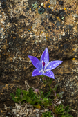 Olympic Bellflower, Campanula piperi, a wildflower endemic to the Olympic Mountains and part of Vancouver Island, in rocky habitat on Mount Townsend in the Buckhorn Wilderness, Olympic National Forest, Washington State, USA