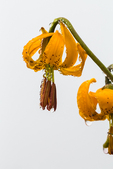 Columbia Tiger Lily, Lilium columbianum, with water droplets condensing from fog and clouds, along trail to Mount Townsend in the Buckhorn Wilderness, Olympic National Forest, Washington State, USA