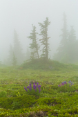 Subalpine meadow in mist and fog along trail to Mount Townsend in the Buckhorn Wilderness, Olympic National Forest, Washington State, USA