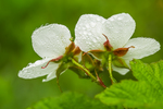 Thimbleberry, Rubus parviflorus, flowering and covered with water drops on the flanks of Mount Townsend in the Buckhorn Wilderness, Olympic National Forest, Washington State, USA