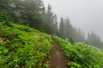 Trail through a subalpine wildflower meadow on the way to Mount Townsend in the Buckhorn Wilderness, Olympic National Forest, Washington State, USA