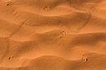 Beetle and mammal and other insect tracks in a sand dune located along the road to Horseshoe Canyon and The Maze in Canyonlands National Park, Utah, USA