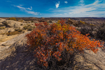 Skunkbush Sumac, Rhus trilobata, in scarlet autumn color near the rim overlooking Horseshoe Canyon in Canyonlands National Park, Utah, USA