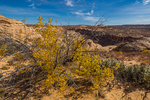 Single-leaf Ash, Fraxinus anomala, in bright yellow autumn color on the cliffs overlooking Horseshoe Canyon in Canyonlands National Park, Utah, USA