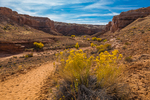 Trail entering Horseshoe Canyon en route to the pictograph panels, with Rubber Rabbitbrush, Ericamerica nauseosa, in the foreground, in Canyonlands National Park, Utah, USA